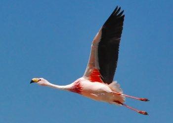 Flamant rose à découvrir lors de votre expédition 4x4 au Salar d'Uyuni.