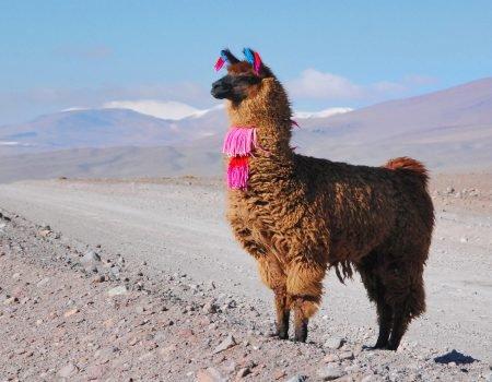 Lama au Sud Lipez à voir pendant voter expédition 4x4.