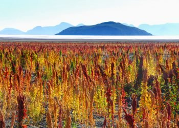 Champ de quinoa à découvrir pendant votre expédition 4x4 au Sud Lipez.