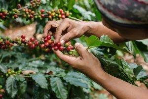 Tour du café bolivien aux Yungas.