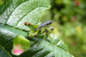 Insecte bolivien dans les Yungas