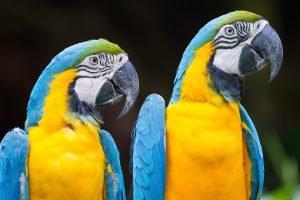 Couple de perroquets en Amazonie.