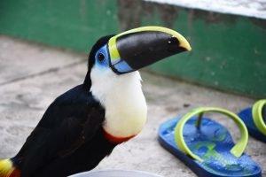 Rencontre insolite avec un toucan en Amazonie bolivienne.