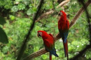 Couple de perroquets dans la jungle bolivienne.