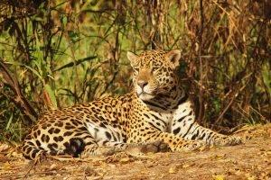 Jaguar dans l'Amazonie bolivienne.